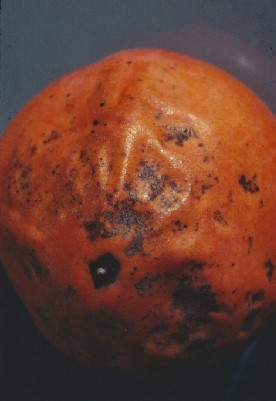 Figure 16. Fruit spotting on persimmon.