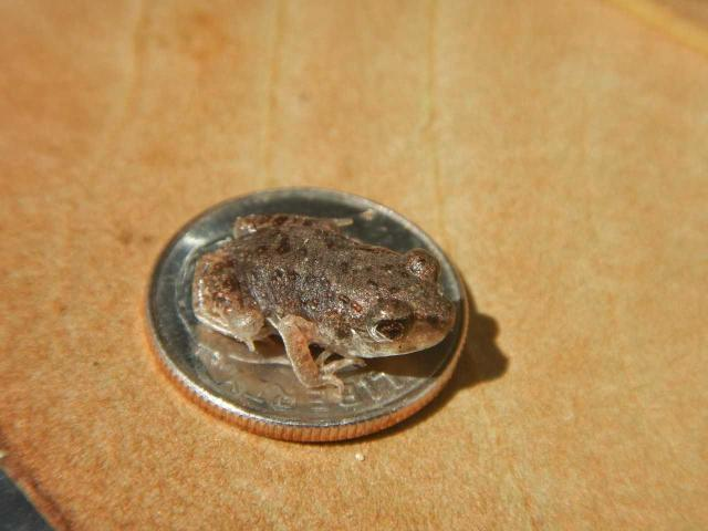 Figure 1. Very young eastern spadefoot toads are the size of a raisin, as seen here by a days-old froglet resting on a dime.