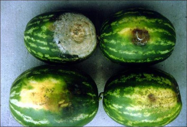 Figure 9.Various stages of fruit rot of watermelon caused by Phytophthora capsici. Bottom, early symptoms; top, advanced symptoms.