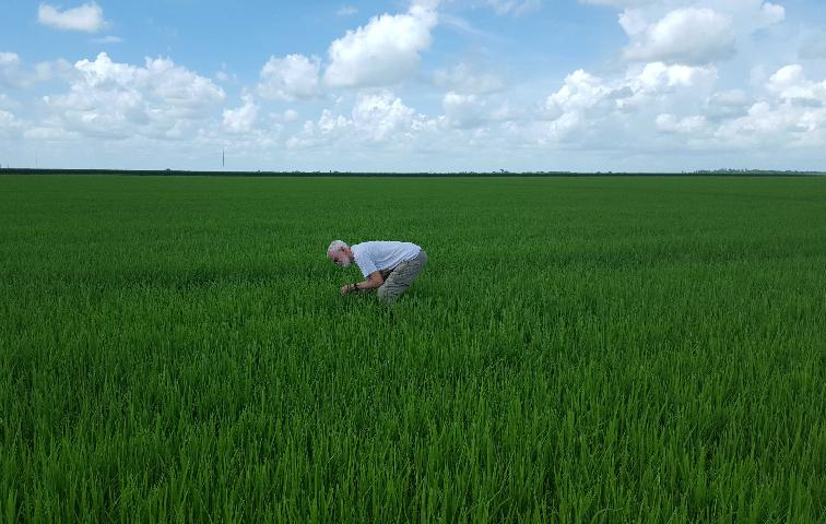 Figure 3.Sampling for adult rice water weevil damage, Palm Beach County, FL.