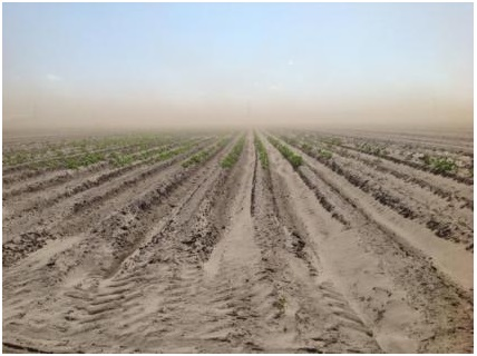 Figure 1.Sandy soils used for commercial potato production in northeast Florida.