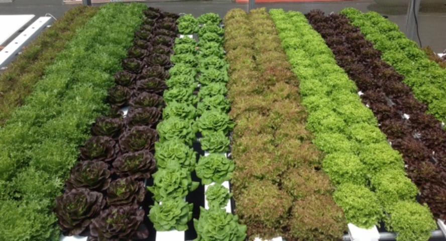 Figure 1.Nutrient Film Technique (NFT) lettuce production