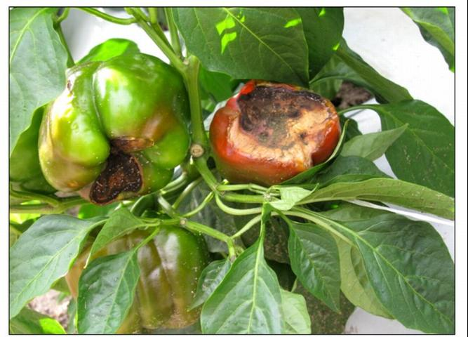 Figure 3.Advanced BER symptoms on pepper fruits on the plant showing premature coloration.