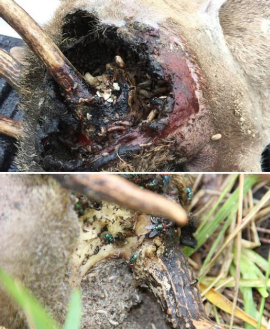 Figure 5.A Key deer (Odocoileus virginianus clavium) killed by primary screwworm, Cochliomyia hominivorax (Coquerel), with other blow fly adults visiting the carcass.