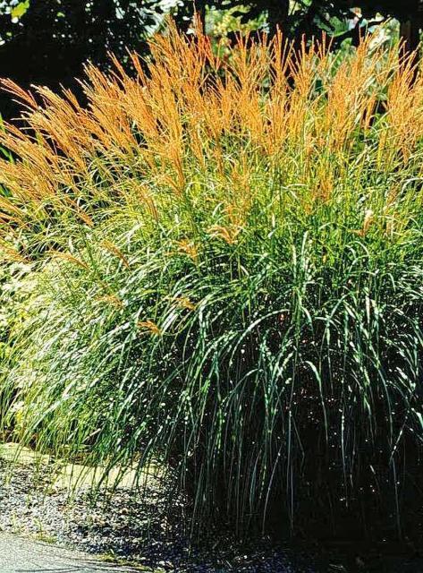 Figure 9.'Arabesque' silver grass.