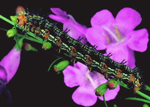 Figure 3. Mature larvae of the common buckeye butterfly, Junonia coenia Hübner, on false foxglove, Agalinissp. (Orobanchaceae).