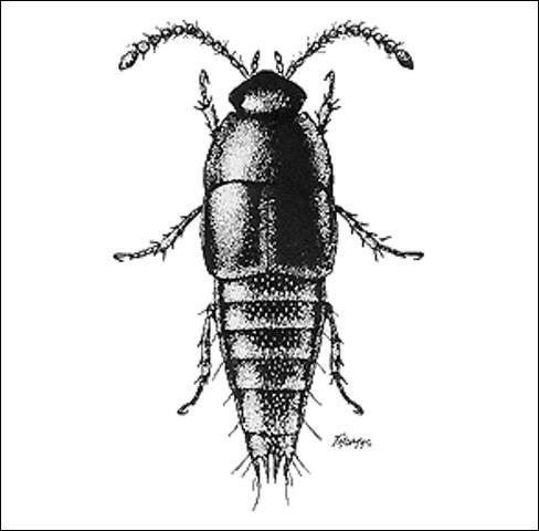 Figure 6.Coproporus rutilus (Erichson) (Tachyporinae) 3.8 mm.