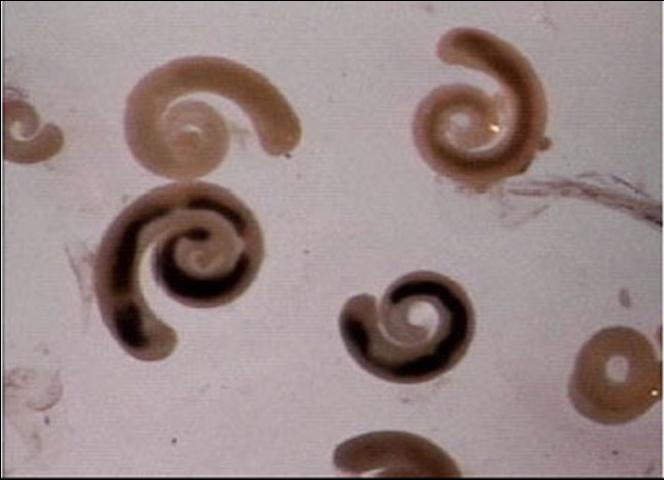 Figure 1. Pentastome larvae (nymphs) from a swordtail.