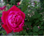Figure 1. Louis Phillippe is a reliable old garden rose (OGR) for Florida.
