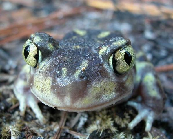 Figure 7. Eastern spadefoot toads have vertical pupils, as seen in this toad from St. Marks National Wildlife Refuge, south of Tallahassee, Florida.