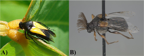 Figure 1. Adult specimens of the two genera of Ripiphoridae. A) Macrosiagon Hentz, and B) Ripiphorus Bosc.