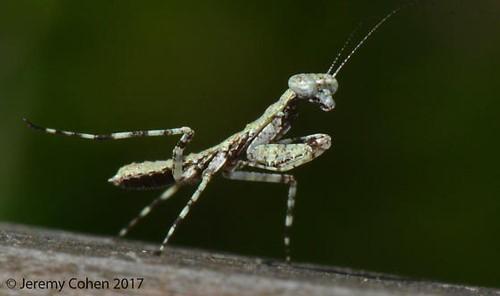 Figure 4.Grizzled mantid, Gonatista grisea (Fabricus), nymph.