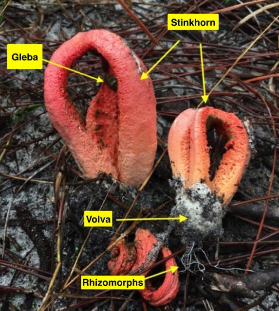 Figure 3. Clathrus columnatus (the Columned Stinkhorn) stinkhorns emerge from the leaf litter in a pine forest near Apalachicola, Florida.
