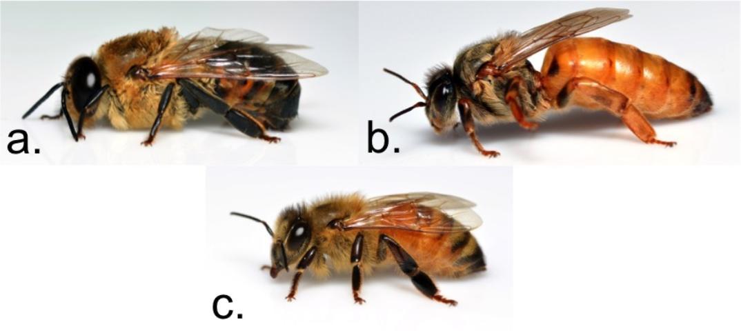 Honey bee castes