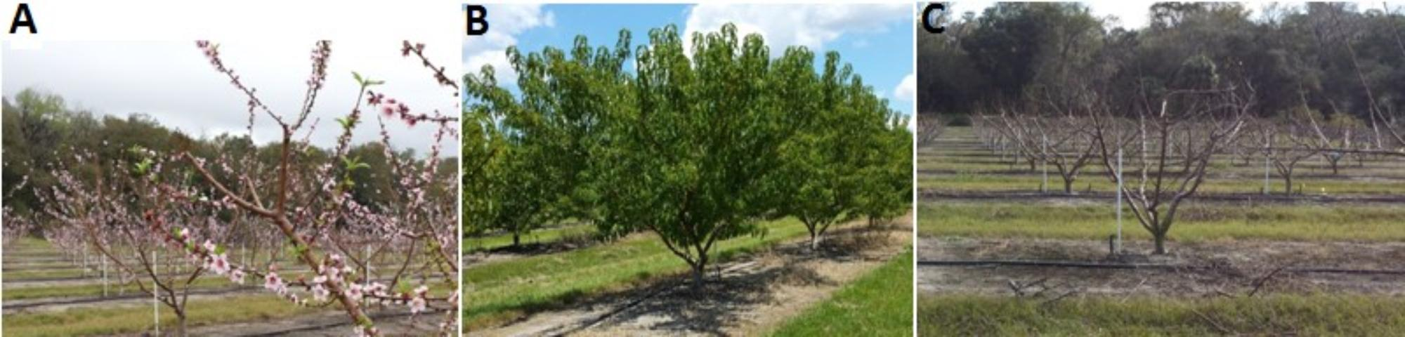 Figure 5.A) Peach trees flowering during spring; B) vegetative growth during late May‒November; C) dormant trees during mid-December to early January.