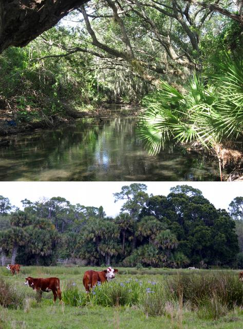 Figure 1.Warm Minerals Spring Creek, protected by the Conservation Foundation of the Gulf Coast (top) and rangelands at Adams Ranch in Fort Pierce, Florida, protected with support from the Florida Conservation Trust (bottom).
