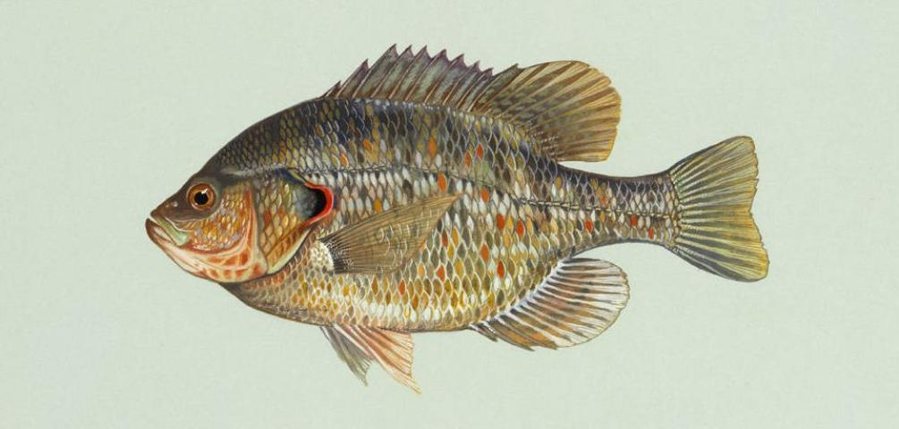Figure 4.The redear sunfish may be stocked with bluegill as food for bass and as a sport fish for the angler.