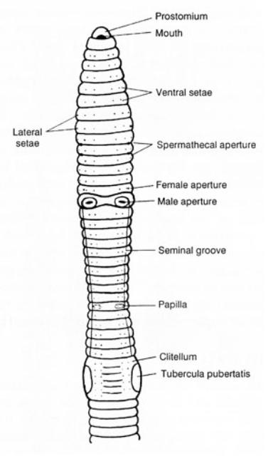 Figure 3. Diagram of the anterior portion of an earthworm.