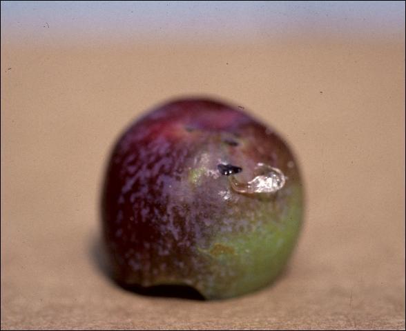 Figure 14.Half-moon cut on fallen fruit with gummosis.