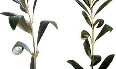 Figure 4.Curling of olive (Olea europaea L.) leaves caused by olive bud mites.
