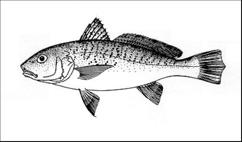 Figure 1.Atlantic Croaker Micropogonias undulatus.
