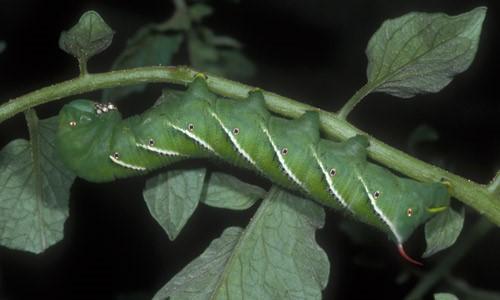 Figure 2.Late instar larva of the tobacco hornworm,Manduca sexta(L.).