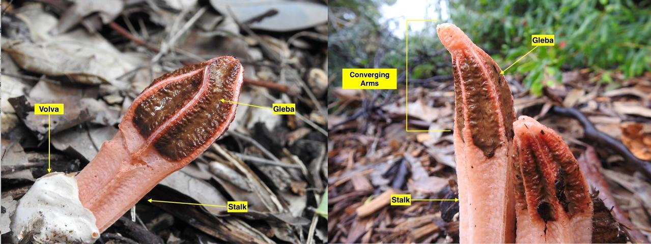 Figure 4. Lysurus mokusin (Lantern Stinkhorn) emerging from leaf litter. Left photo shows white volva; right photo shows pointed lantern shape of converging arms at the tip of the mushroom. This photo shows a specimen from Australia but the species has been introduced to the United States.