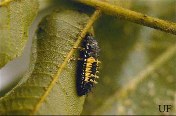 Figure 6. Larva of the multicolored Asian lady beetle, Harmonia axyridis Pallas.