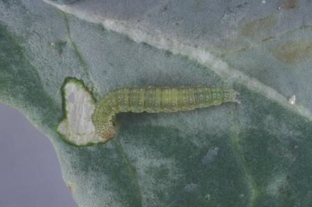 Figure 2b.Diamondback moth caterpillar (b).