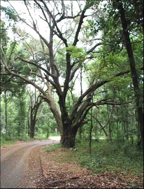 Figure 6.A tree marked for preservation in the community of Madra, Gainesville, FL. Note the road that goes around the tree.