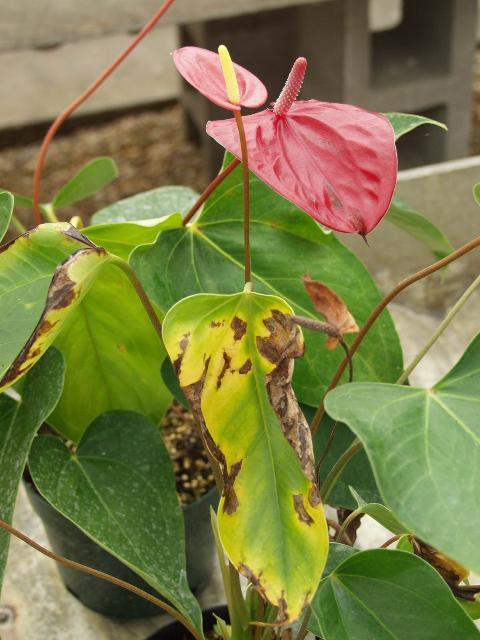 Figure 5. Extensive necrosis develops on Anthurium plants that are systemically infected with Xanthomonas bacterial blight.