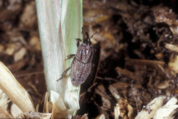 Figure 12.Hunting billbug adult.