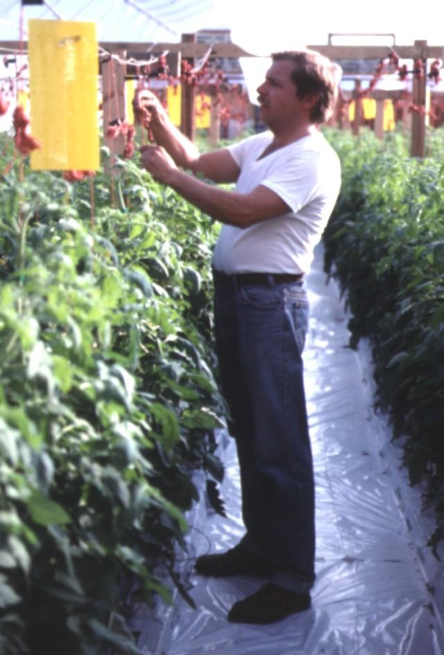 Figure 15.Training the tomato plant to the trellis system.