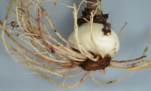 Figure 6. Amaryllis infected by lesion nematodes exhibiting characteristic reddish-brown lesions on the root system.