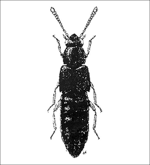 Figure 7.Heterota plumbea Waterhouse (Aleocharinae) 2.8 mm.