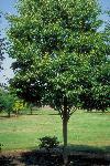 Enh 834 St678 Zelkova Serrata Green Vase Green Vase