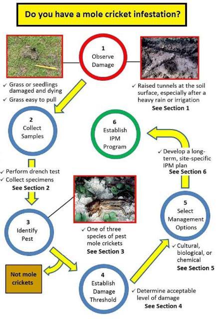 Figure 1.Pest mole cricket management: observe damage, collect samples, identify specimens, establish a damage threshold, select management options, and develop a long-term IPM program.