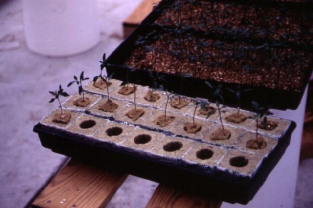 Figure 6.Transplants growing in rockwool cubes for tranplanting to rockwool growing system.