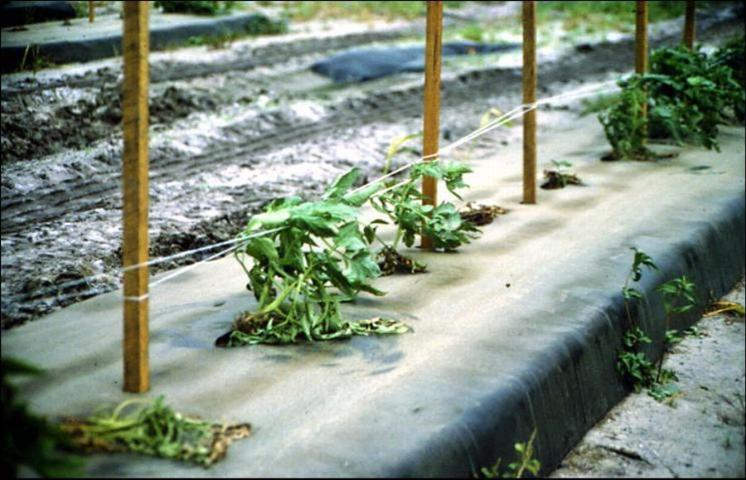 Figure 5.Missing tomato plants due to Phytophthora capsici.