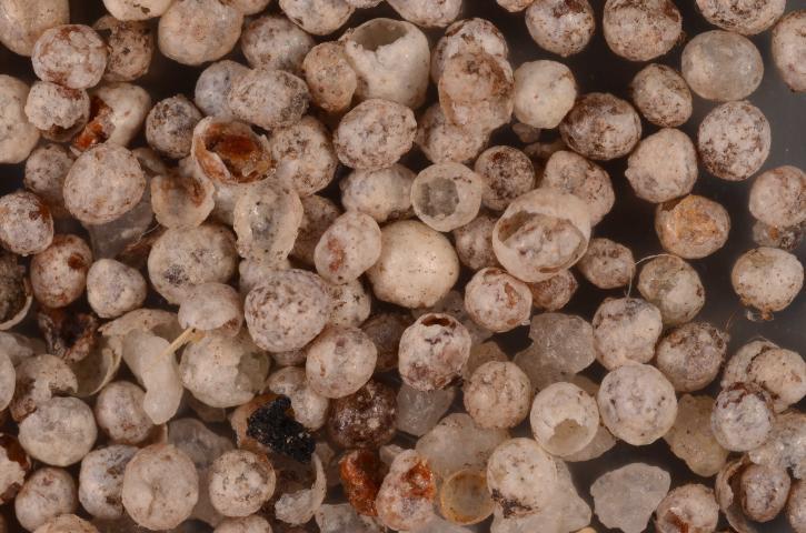 Figure 9.Dimargarodes meridionalis cysts.