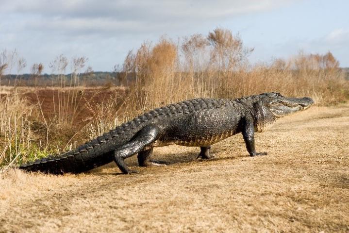 Figure 6.American alligator.