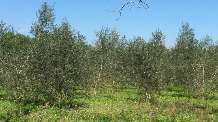 Figure 1. A healthy Arbequina olive grove in Volusia County, Florida.