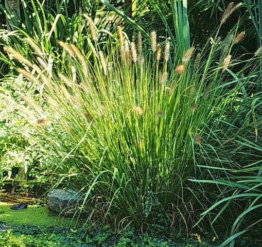 Figure 3.'Hameln' fountain grass.