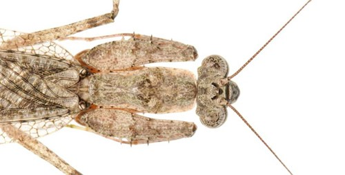 Figure 5.Adult grizzled mantid, Gonatista grisea (Fabricus), resting with forelegs tight against the pronotum.