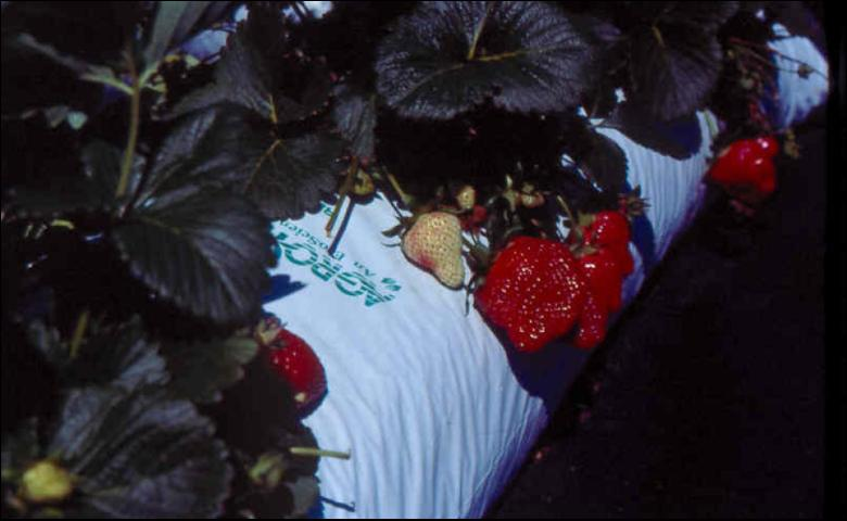 Figure 11.Strawberry production in perlite-filled lay-flat bags.