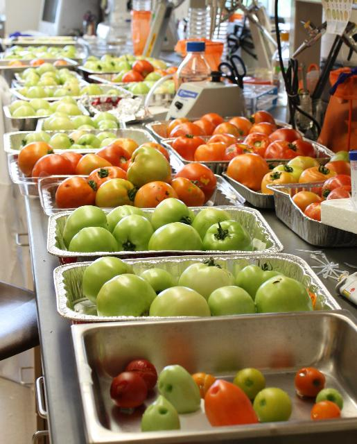 Figure 1.Diferentes variedades de tomates en las diferentes etapas de madurez listos para ser infectados con Salmonella