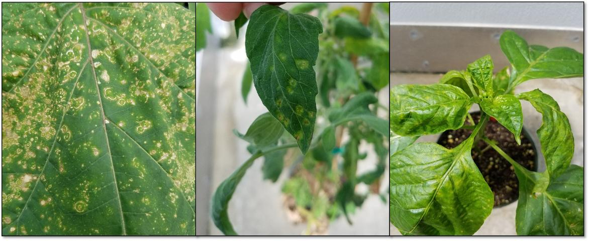 Figure 3. Tomato chlorotic spot virus-affected jimsonweed, tomato, and pepper leaves.