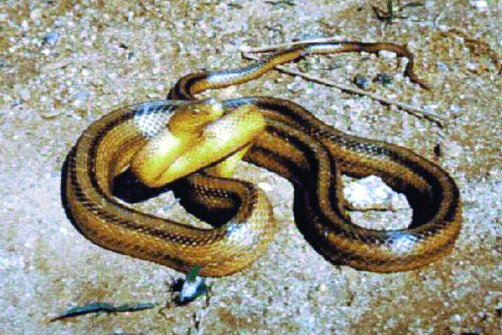 Figure 10. Yellow rat snake.