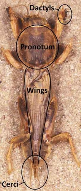 Figure 8.Tawny mole cricket adult.