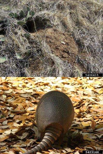 Figure 1.The entrance of an armadillo burrow is typically round and 7 to 8 inches across, matching the shape of the armadillo carapace